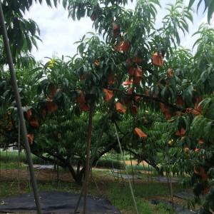 沢山の清水白桃